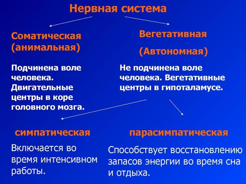 соматическая и вегетативная нервные системы