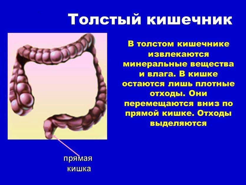 пищеварение в толстом кишечнике